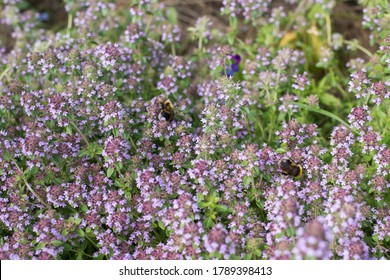 Summer smell of natural thyme herbs in country garden