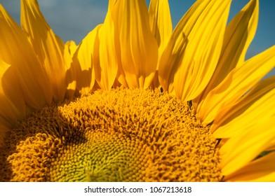 Summer smiling sunflower