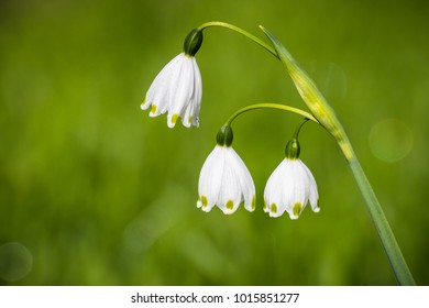 Summer snowflake flowers (Leucojum aestivum) blooming on a meadow in California; it is native to Europe and introduced to the United States