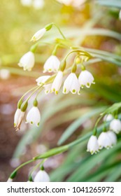 Summer snowflake flowers (Leucojum aestivum) with sunlight background