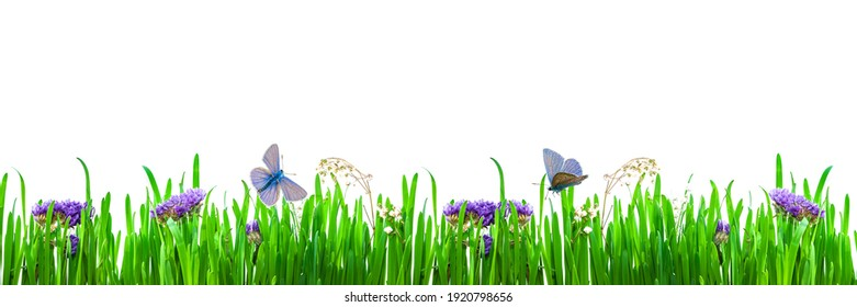 Summer, spring background of bright green grass with small delicate purple flowers and butterflies, moths, isolated on a white background. Copy of the space, panoramic view
