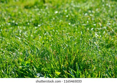 Summer or spring green grass background