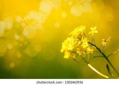 Summer or spring natural floral background with yellow blooming field, blurred image, selective focus