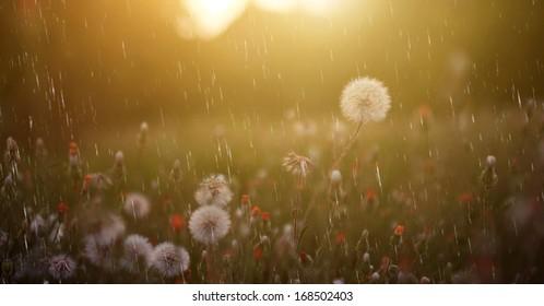Summer / spring rain and dandelion flower field