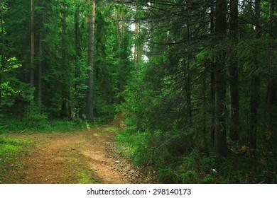 summer spruce forest landscape