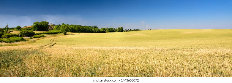 Summer sun shines on a ripe crop of wheat in a large field on the rolling landscape of Leicestershire, with Breedon-on-the-Hill Church behind.