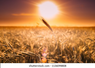 Summer Sun Shining Above Agricultural Landscape Of Young Yellow Wheat Field. Wheat Field In Sunset Sunrise Sun