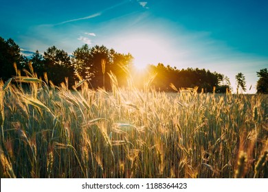 Summer Sun Shining Above Agricultural Landscape Of Young Green Wheat Field. Growing Wheat Field In Sunset Dawn Sunshine Time.