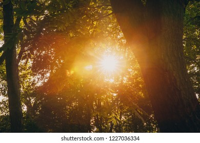 Summer Sun Shining Through Canopy Of Tall Trees. Sunlight In Deciduous Forest, Summer Nature. Upper Branches Of Tree.