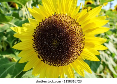 summer sunflower blossom in Japan