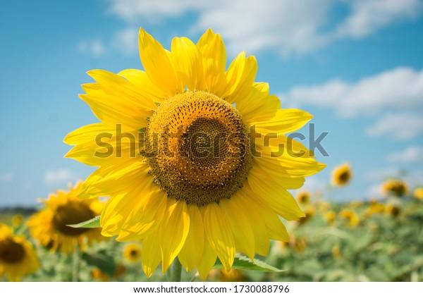 summer sunflower in the field