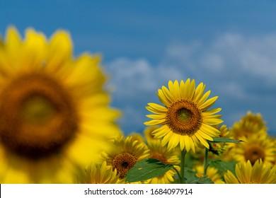 Summer sunflower field and blue sky.