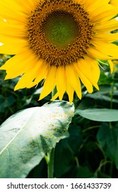 Summer Sunflower and honey bee photography