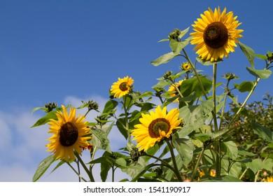 Summer sunflowers against a blue sky