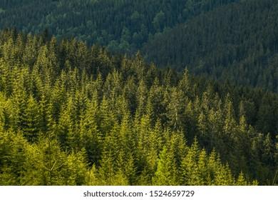 Summer sunlight on green trees in the in Krkonose National park forest, Czech Republic