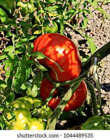summer, sunny day. a bush of tomato on a bed. two red fruits on a branch among the leaves and green fruits on a background of gray eath.  glares, shadows. close-up