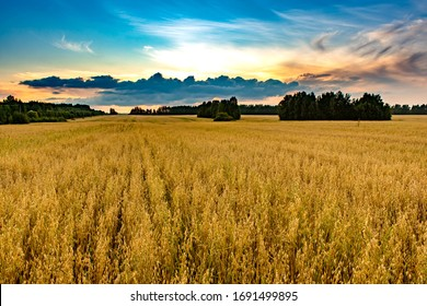 Summer sunset in a field with ears of wheat and beautiful sky.