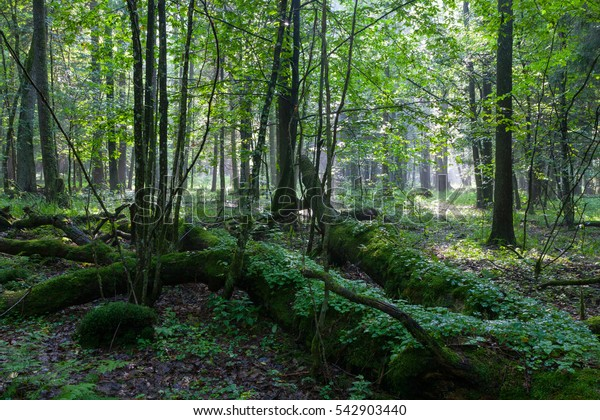 Summer sunset with light entering rich deciduous stand with some broken trees in foreground, Bialowieza Forest, Poland, Europe
