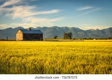 Summer sunset with an old barn and a rye field in rural Montana with Rocky Mountains in the background.