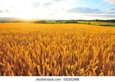 Summer Sunset Over The Barley Field
