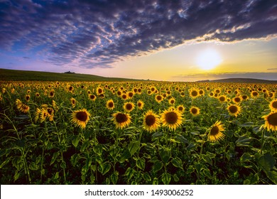 summer sunset scenery, image of wonderful sun flowers,  summer rural field of yellow sunflowers at evening sundown , blooming  summer flowers outdoor scenery , colorful floral nature photo