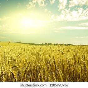 summer sunset wheat field in sunset on grunge style