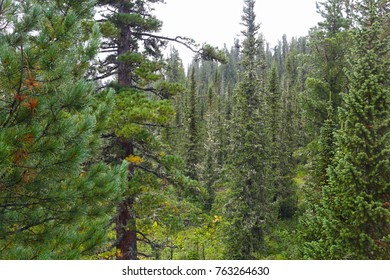 summer taiga forest in South Siberia. Sayan mountains