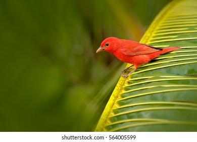 Summer Tanager, Piranga rubra, red bird in the nature habitat sitting on the green palm tree. Birdwatching in Costa Rica. Wildlife scene from nature, Laguna de Lagarta Lodge, Costa Rica.