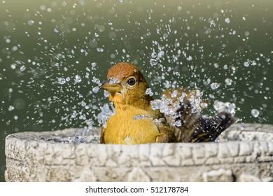Summer Tanager Splashing in Birdbath in Autumn