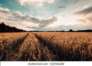 Summer time - Wheatfield with traces of