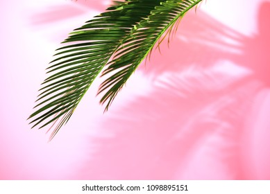 Summer tropical travel concept, the sun is shining brigtly on a bunch of palm leaves, palm leaves shadow is laying on a pink wall, composition with a space for a text