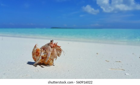 Summer vacation hermit crab on a white sandy beach withe blue sea sky background