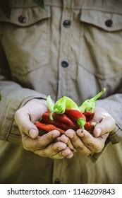 Summer vegetable garden concept with gardener harvesting ripe chili peppers