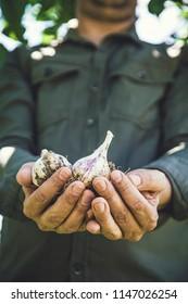 Summer vegetable garden concept with gardener harvesting ripe garlic. Fresh gralic crop