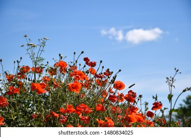 Summer view of blossom poppies by a blue sky
