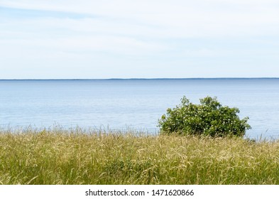 Summer view by calm blue water with a blossom wild rose shrub at the island Oland in Sweden