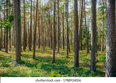 Summer view of a Swedish pine tree forest with many tree trunks and berry plants on the forest ground.