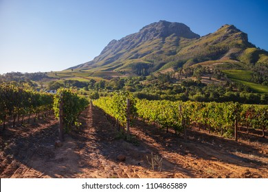 Summer vineyard rows with dramatic mountain in background, near Setllenbosch, South Africa.