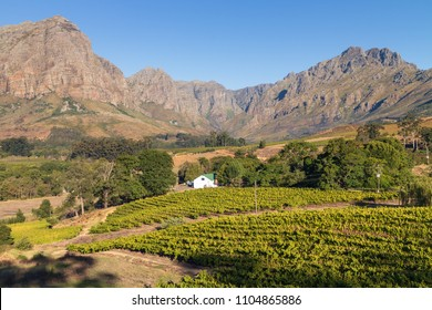Summer vineyard surrounded by mountains in Stellenbosch, South Africa.