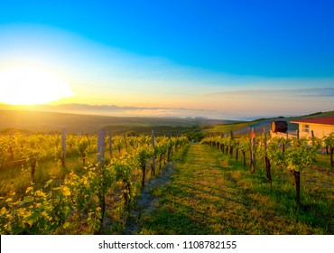 Summer vineyard with young grapes in the morning sun