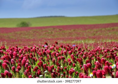 Summer wallpaper. Nature background. Red field of flowers Crimson clover and blue sky.