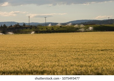 Summer wheat field and grazing cows, central Oregon, USA.