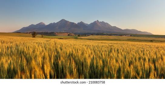 Summer wheat field in Slovakia, Tatras.