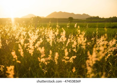 Summer wheat flowers in bright golden twilight sunshine, blurred background as outdoor backdrop and copy space.