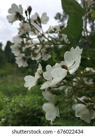 Summer Wild Rose Blossoms