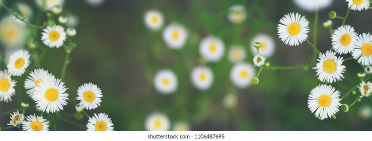 Summer wildflowers background. Top view of beautiful small daisies fleabane (Erigeron annuus) blooming