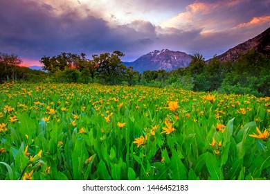 Summer wildlfowers in the Wasatch Mountains, Utah, USA.