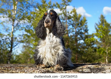 Summer. Wildlife of lake Ladoga. On a stone ledge sits the English Cocker Spaniel. Beautiful head, noble eyes. Color of blue roan. In the background are trees and a blue sky with clouds.