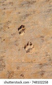 Summer. Wolf tracks in the sand.