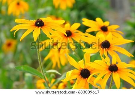 Summer yellow flowers bunch yellow daisy stock photo edit now summer yellow flowers bunch of yellow daisy flowers close up field of beautiful yellow mightylinksfo